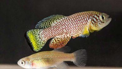"Photo of وفي الأسماك فوائد أخرى.. ""كيلي فيش الفيروزية"" تساهم في علاج الشيخوخة"