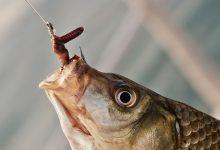 Photo of الدود الإسمعلاوي.. أقوى أنواع الطعوم والأفضل لصيد الأحجام الكبيرة